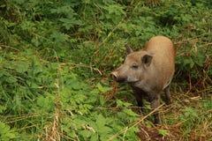 свинья одичалая Стоковое Изображение RF