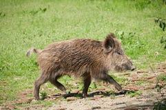 свинья одичалая Стоковая Фотография
