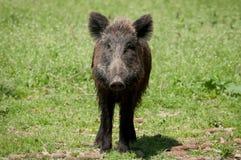 свинья одичалая Стоковое Фото