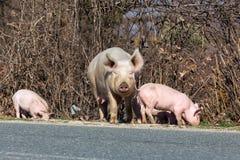 Свинья около дороги ища для еды Стоковое Фото