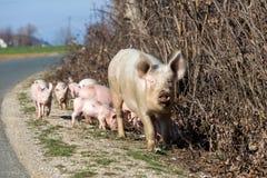 Свинья около дороги ища для еды Стоковая Фотография