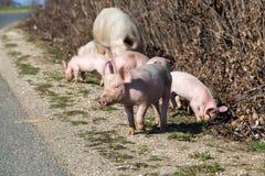 Свинья около дороги ища для еды Стоковое фото RF