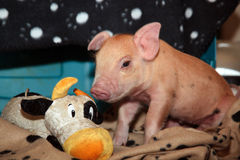 Свинья дома Стоковая Фотография