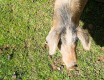 свинья одичалая Стоковое Изображение
