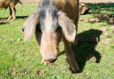 свинья одичалая Стоковые Фото