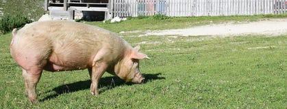 Свинья пася в лугах горы Стоковые Фото