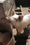 свинья пер Стоковые Фото