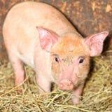Свинья поросенка Стоковое Изображение RF