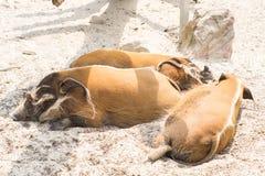 свинья реки отдыхая на солнце на зоопарке Стоковая Фотография RF