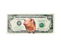 Свинья смотрит из 100 примечаний доллара вместо американского изолированного президента Стоковое Изображение