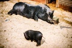 Свинья спать большая с поросенком младенца Предпосылка фермы стоковая фотография rf