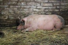 Свинья спать в амбаре Стоковое фото RF