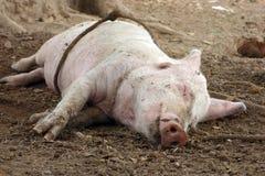 Свинья спать в грязи Стоковое Изображение RF
