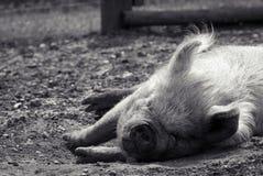 Свинья спать в солнечности лета стоковые изображения rf