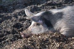 Свинья спать Стоковое Изображение