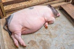 Свинья спать Стоковое Изображение RF