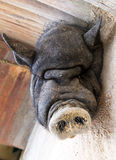 Свинья спать Стоковые Фото