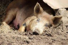 Свинья спать Стоковые Фотографии RF