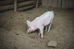 Свинья стоя в грязи со своим носом к земле Стоковые Фотографии RF