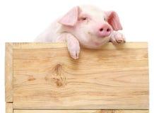 Свинья с доской Стоковое Изображение RF