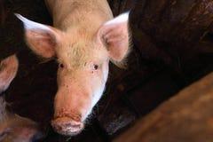 Свинья с пакостным намордником в свинарнике Стоковые Фотографии RF