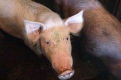Свинья с пакостным намордником в свинарнике Стоковые Фото