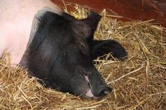 Свинья уснувшая Стоковые Изображения RF