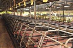 свинья фермы Стоковая Фотография RF