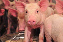свинья фермы Стоковые Фотографии RF
