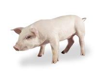 свинья 03 Стоковые Изображения RF