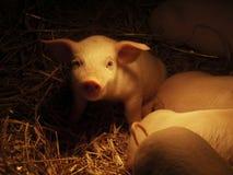 свинья 05 Стоковое фото RF