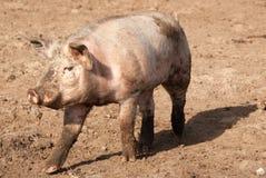 свинья Стоковые Фотографии RF