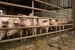 свинья Стоковая Фотография