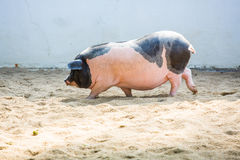 Свинья Стоковые Фото
