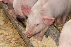 свинья Стоковая Фотография RF