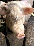Свинья стоковое фото rf
