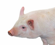 свинья стоковые изображения