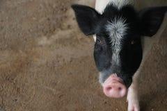 свинья стоковое изображение