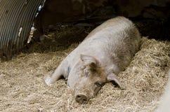 свинья Стоковые Изображения RF