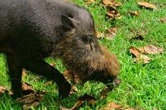 Свинья Bornean бородатая, национальный парк Bako, Борнео Стоковое фото RF