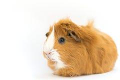 Свинья Guiena - Стоковое фото RF