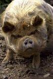свинья kuna Стоковое Фото