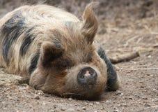 Свинья Kunejune стоковая фотография rf