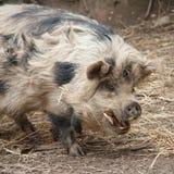 Свинья Kunekune стоковое изображение rf