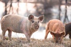 Свинья Mangalitsa маленькая на поле Стоковые Изображения RF