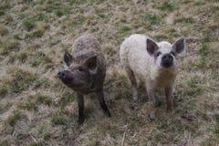 Свинья Mangalitsa Стоковые Фото