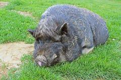 Свинья (primeval порода) Стоковые Изображения