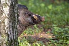 Свинья Visayan бородавчатая в лесе Стоковые Фото