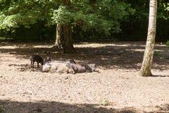Свинья Visayan бородавчатая Стоковые Фотографии RF