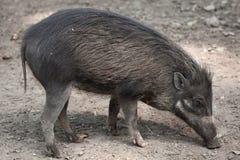 Свинья Visayan бородавчатая & x28; Cebifrons& x29 Sus; стоковая фотография rf
